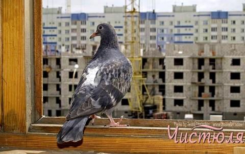 Голубям не место на балконе, или Как избавиться от птиц?